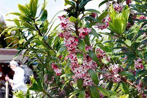 薄いピンクの外側と内側の白い小さな花が特徴のジンチョウゲ=板野町黒谷