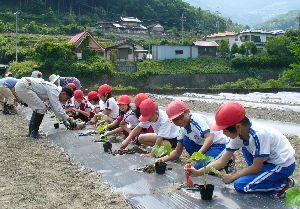 美馬太きゅうりの苗を植える児童=美馬市の江原北小