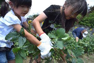 大豆の収穫に挑戦する参加者=徳島市国府町芝原