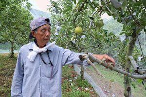 イノシシにかまれて枝を折られた場所を示す中川さん=美馬市脇町の観光リンゴ園