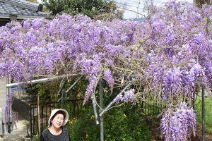 薄紫の花を咲かせたフジ=美馬市穴吹町三島
