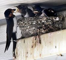 ひなに餌を与えるツバメの親=徳島市八万町