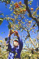熟れ始めた富有柿を丁寧に収穫する農家=上板町