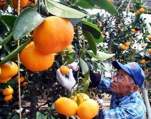 収穫が始まったハウスミカン=阿南市桑野町