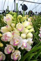 年の瀬彩るシンビジウム 徳島・阿波市で出荷盛ん