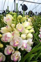 鮮やかな花を咲かせたシンビジウム=阿波市吉野町柿原