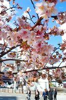 淡いピンクの花を咲かせたカンザクラ=徳島市の両国橋東公園