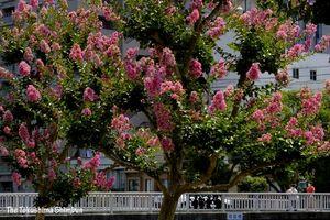 鮮やかなピンクの花を咲かせたサルスベリ=徳島市の新町川水際公園