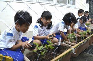 ゴーヤーの苗を植える鳴門西小児童=鳴門市鳴門町の同小
