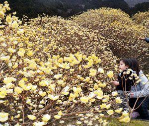 黄金色の小さな花を無数に咲かせたミツマタ=那賀町掛盤