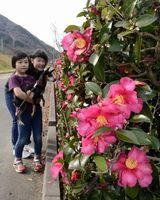 色鮮やかなサザンカの花=つるぎ町の貞光ゆうゆうパーク