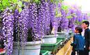 石井・地福寺でフジ咲き誇る