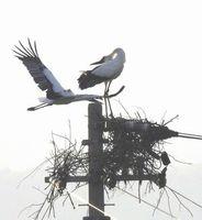 3カ月ぶりに巣に戻ったコウノトリの雄(右)。飛んでいるのはペアを組んでいた3歳の雌=鳴門市大麻町