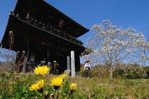 熊谷寺の山門近くに咲いたタンポポやハクモクレン=阿波市土成町土成