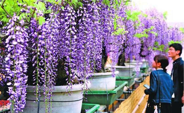 見頃を迎えたフジの花=石井町石井の地福寺