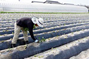 なると金時の苗を植え替える島藤さん。恵みの雨を願う=徳島市川内町下別宮西
