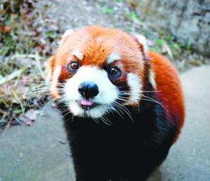 転園することになったレッサーパンダ「よもぎ」(とくしま動物園提供)