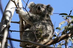 オーストラリアの森林火災で影響を受けた地域に生息するコアラ=2020年9月(ロイター=共同)