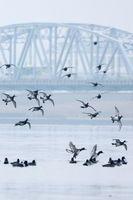 吉野川に飛来したスズガモの群れ=徳島市の吉野川橋下流