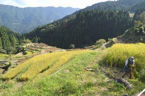 鎌で丁寧に稲を刈る住民=上勝町生実の「樫原の棚田」