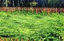 あらたえ考 大嘗祭を迎えて【1】 大麻の栽培 風雨…