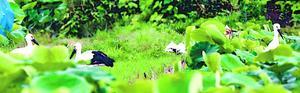 巣から飛び立ち地面に舞い降りた「渦」「海」「めい」の3羽=16日午前9時ごろ、鳴門市大麻町(NPO法人とくしまコウノトリ基金提供)