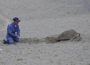 大浜海岸に上陸したアカウミガメ=美波町日和佐浦