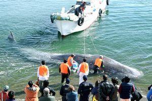 浅瀬で動けなくなったクジラを救出する人たち=20日午後1時10分ごろ、阿南市の中林海岸