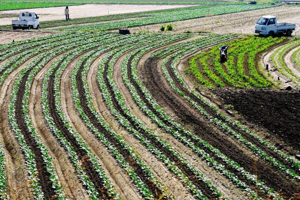 冬野菜の苗がきれいな曲線模様を描いている畑=徳島市国府町佐野塚