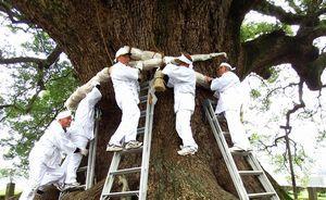 大クスにしめ縄を飾り付ける保存会の会員=東みよし町加茂
