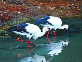 阿南にコウノトリ2羽 兵庫と島根から ため池で羽休め