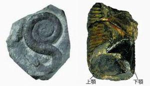 【写真左】鳴門市で発見されたS字状アンモナイト・プラビトセラスの化石(県立博物館提供)【写真右】プラビトセラスの顎(東京大提供)
