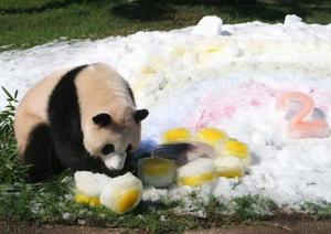 ヒマワリの形をした氷で遊ぶジャイアントパンダの彩浜=14日午前、和歌山県白浜町のアドベンチャーワールド