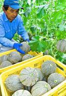 さっぱりと初夏の甘味 阿波でアムスメロン収穫盛ん