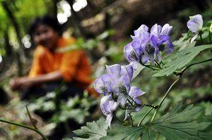斜面に薄紫の花を咲かせたトリカブト=那賀町沢谷の土須峠