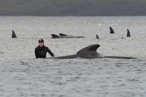 22日、オーストラリア南東部タスマニア島で打ち上げられたクジラを救出しようとする人(ロイター=共同)