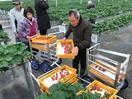 四電イチゴ初出荷 香川に設立の農業法人