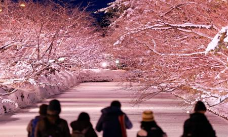 青森県弘前市の弘前公園外堀で、ピンク色にライトアップされた桜の木=9日夜