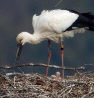 ひなを見守りながら、巣を大きくする材料となる枝を運び込むコウノトリの雌=28日午前9時15分ごろ、鳴門市大麻町