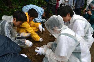イシマササユリの保護活動の一環で、バイオ技術で培養した球根を移植する伊島中学生ら=6月、阿南市伊島町
