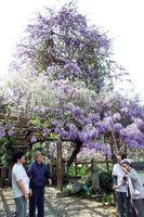 天に向かって枝を伸ばす「のぼり藤」=神山町鬼籠野の神光寺