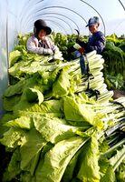 収穫が始まったハウス物の野沢菜=徳島市国府町佐野塚