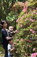 ピンクの花が見頃を迎えているサツキ=つるぎ町貞光木屋の東福寺