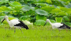 餌をついばむ2羽のコウノトリ=28日、鳴門市大麻町(浅野由美子さん提供、望遠レンズで撮影)
