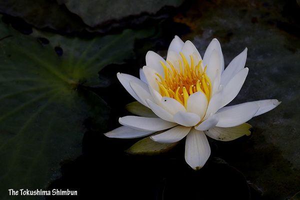 愛らしい白の花を咲かせたスイレン=鳴門市大麻町のドイツ村公園