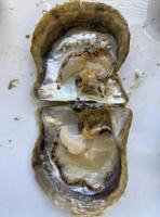外套膜と呼ばれる部分が縮んだアコヤガイ=5月(三重県水産研究所提供)