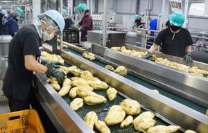 焼酎の仕込みが最盛期を迎えた霧島酒造の工場で、サツマイモ「黄金千貫」の選別をする従業員=24日、宮崎県都城市
