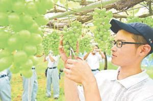 シャインマスカットの摘粒作業を行う生徒=阿波市土成町成当の実習農場