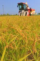 黄金色に実った極わせ品種のハナエチゼンを収穫する農家=阿南市中林町
