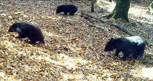 調査で初めて確認されたツキノワグマの親子=2016年10月24日、三好市の国有林(四国森林管理局提供)